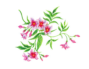 Pink jasmine, watercolor. Hand drawing of a tropical jasmine plant on a white background, isolated with clipping path.