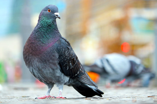 Bluish-grey city pigeon, columba livia domestica sitting on the cobblestones sidewalk in front of blurry buildings and lights in Berlin