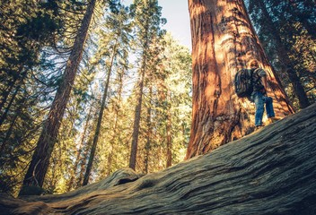 Wall Mural - Sequoia Forest Exploring