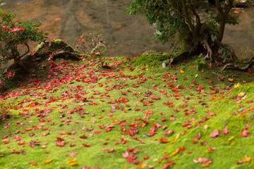 Green moss with maple leaf drop rainforest ground in autumn season