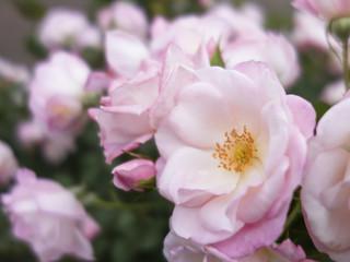 小ぶりなバラ
