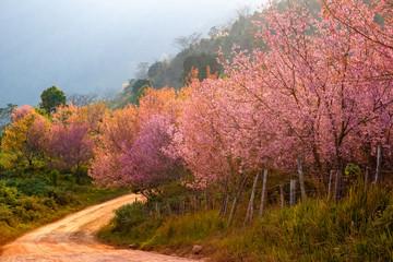 Thailand's Cherry Blossom at Phu Lom Lo