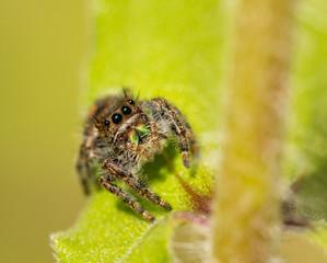 Bold Jumper, Phidippus audax spider on a Zinnia leaf in summer garden