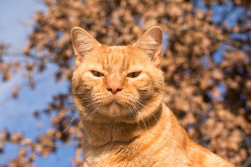 Handsome ginger tabby against winter sky and dry leaves, looking straight at the viewer