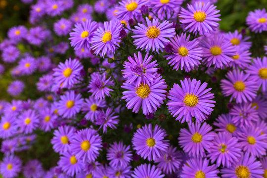 Purple flowers of Italian Asters, Michaelmas Daisy (Italian Starwort, Fall Aster, violet blossom)