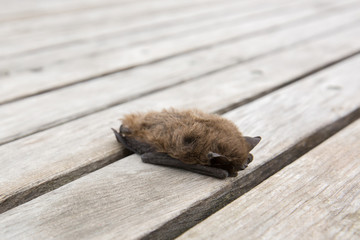 Cute little small brown bat on wooden background in Italy, Europe.