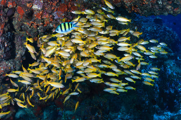 A small school of Snapper on a tropical coral reef