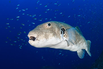A giant pufferfish on a tropical coral reef