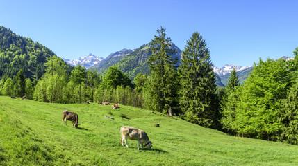 grasende Kühe im Allgäu