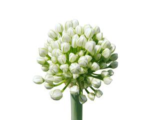 White garlic buds on white background