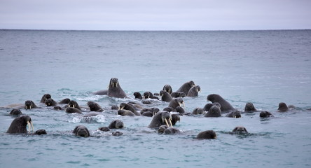 Walrus in the sea