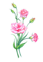 Bouquet of pink eustoma, watercolor painting on white background, isolated with clipping path. Pink lisianthus, hand drawing.