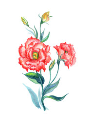 Orange eustoma, watercolor drawing on white background, isolated with clipping path. A bouquet of summer flowers, hand drawing.