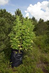 illegaler Anbau von Cannabis