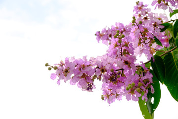 inthanin flowers are blooming in full of trees