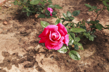 The beautiful rose bloom at valantine
