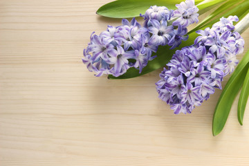 background with blue hyacinths