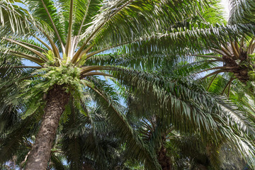 African oil palm plantation in Thailand