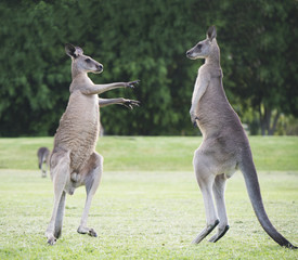 Boxing kangaroos playing around