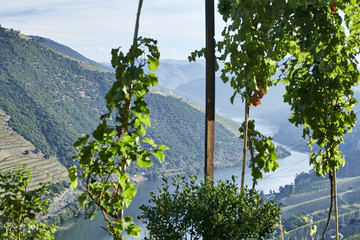 River valley overgrown with trees with grape bushes in the foreground in the douro wine growing area, Portugal Europe