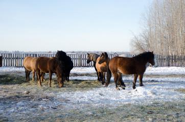 horses walk in the winter