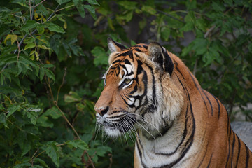 Photo sur Toile Tigre Close up side portrait of Indochinese tiger