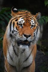 Close up portrait of mature Siberian tiger male