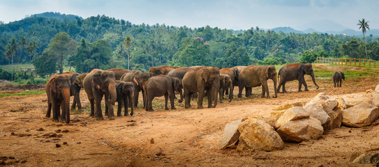 Large elephant herd, Sri Lanka