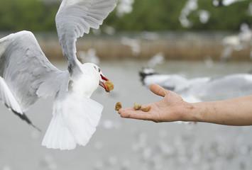 Human hand feeding flying seagull