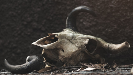 skull of a bull on a black wall background. selective focus