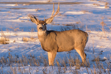One Antlered Mule Deer Buck - Wild Deer on the High Plains of Colorado