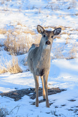 Wild Deer on the Snow Covered High Plains of Colorado