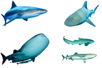 Sharks isolated on white. Grey Reef, Bull, Whale, Leopard and Whitetip Reef Shark cutouts