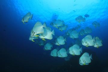 Longfin Spadefish (Batfish) fish underwater