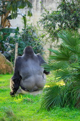 Gray gorilla, who sits with his back