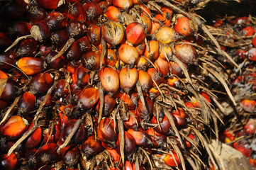 Close-up view of palm oil fruit bunches. The fruit was ripe and harvested.