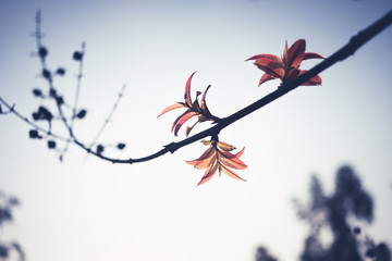 Red leaves on a branch with blue sky,vintage filter