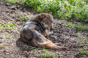 Grey Wolf (Canis lupus) in the nature