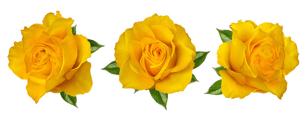 Poster Roses Fresh beautiful yellow rose isolated on white background with clipping path
