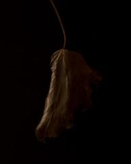 Dried ivy leaf on dark background