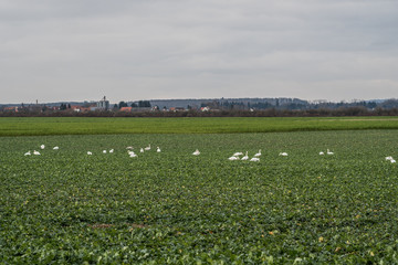 Foto auf Gartenposter Schwan Meadow with group of swans resting and eating grass. Germany Hesse
