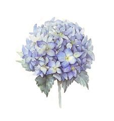 hydrangea watercolor blue