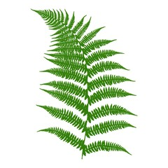 Fern. An image of a green fern leaf on a white background. Vector illustration.
