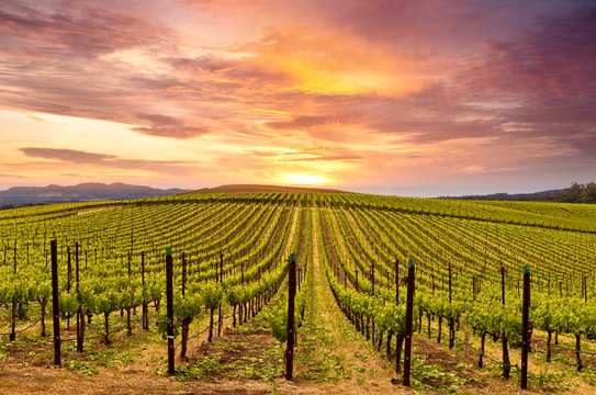 Napa Valley Wine Country Vineyards in Spring and Colorful Sunset