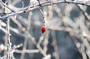 Frozen Red Rosehip On Branch Covered With Ice