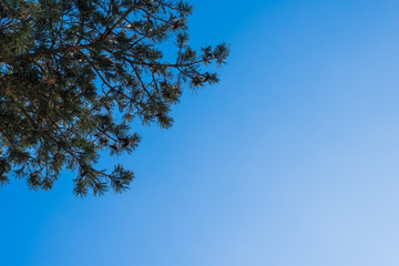 Beautiful pine branches against blue sky - copy space