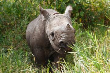 Rhinoceros in Nature