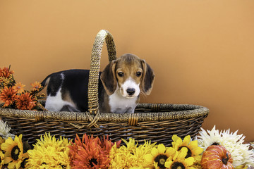 Single Beagle Puppy in Basket with Autumn Colored Flowers