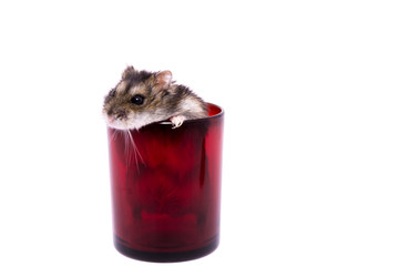 Small djungarian hamster in red glass isolated on white background