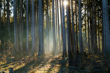Tree trunks in a forest with backlight